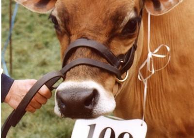 jersey-cow-2-summer-1999