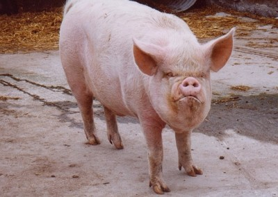 pig-at-rays-farm-1999
