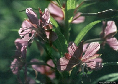 red-campion-85