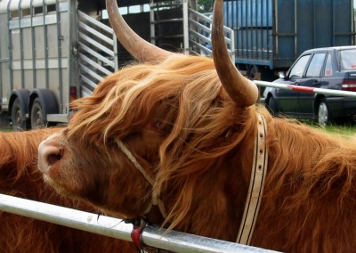 Highland-cattle-22Jun03