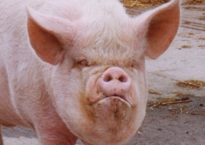 close-up-of-pig-at-rays-farm-1999