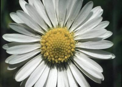 daisy-1-85