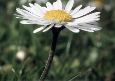 daisy-2-85