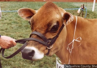 jersey-cow-1-summer-1999